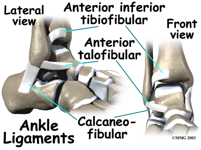 Strong ligaments surround and support the ankle joint.