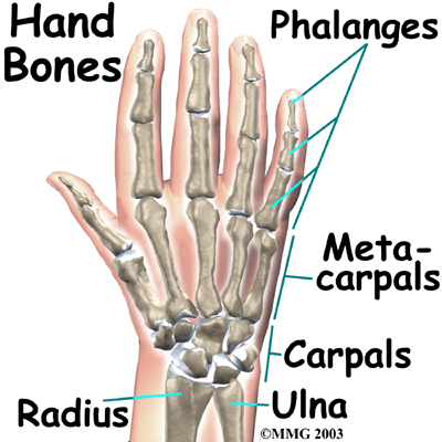 Small bone shafts called phalanges line up